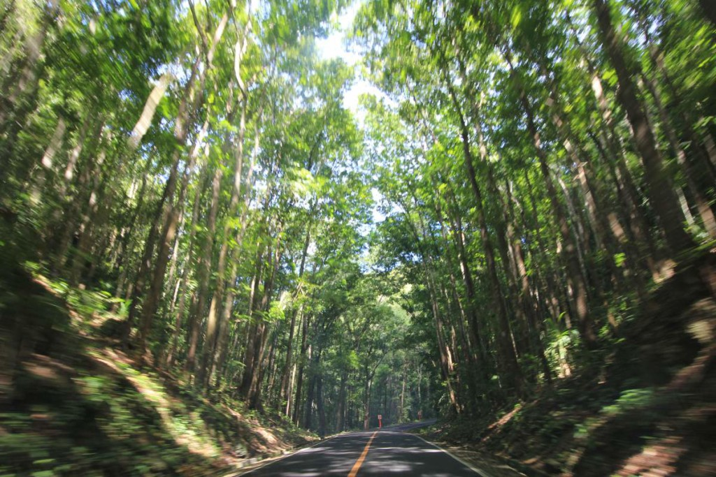bohol countryside tour - manmade forest