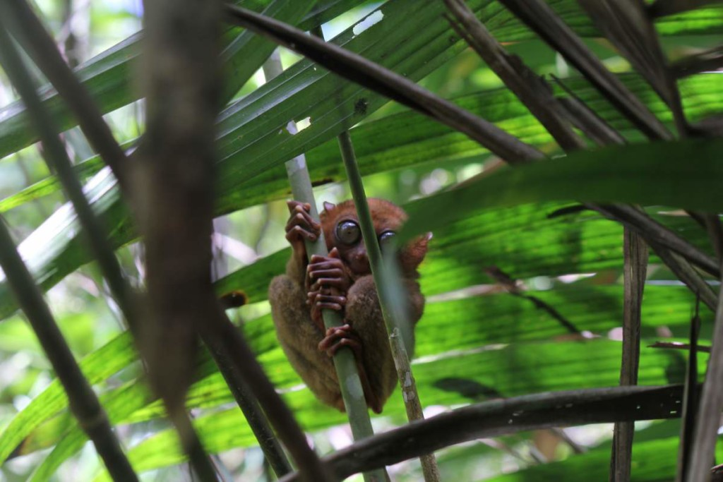 bohol countryside tour - tarsier