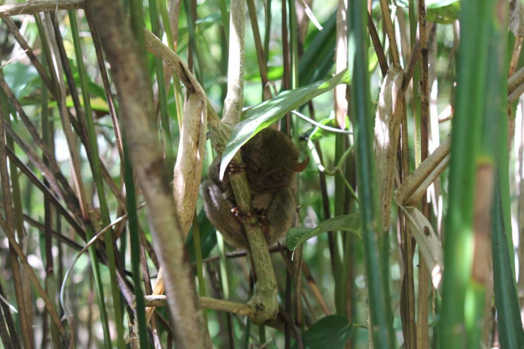 bohol countryside tour - tarsier 2